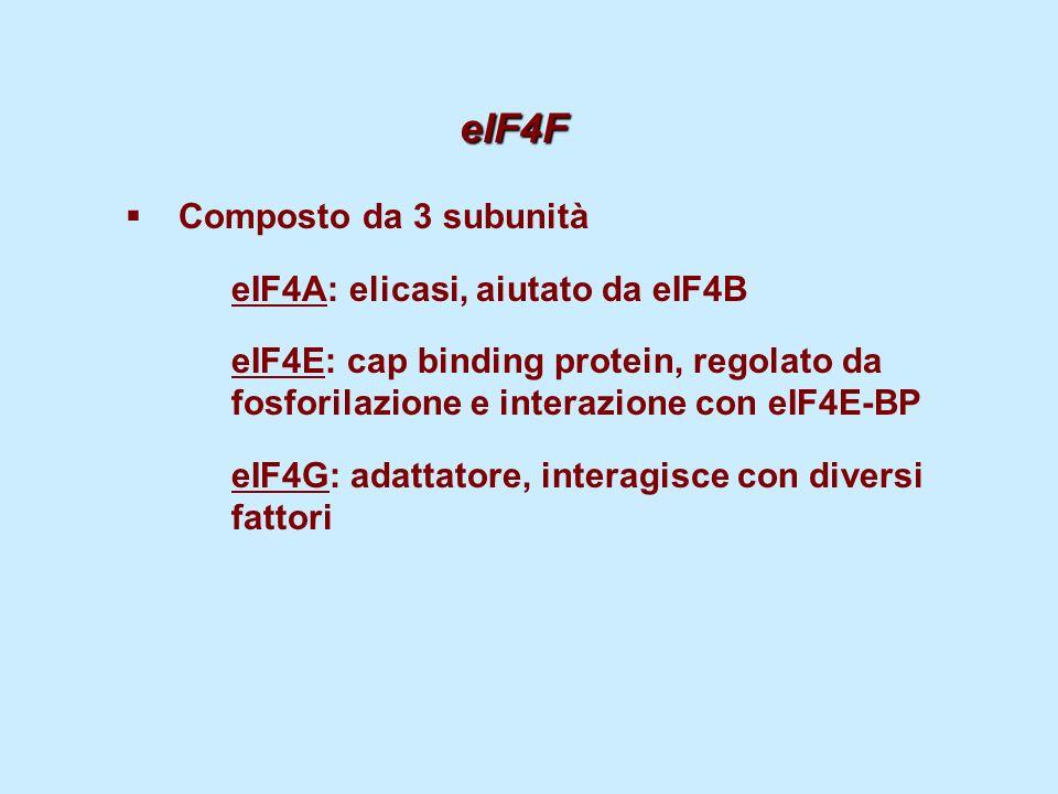 eIF4F Composto da 3 subunità eIF4A: elicasi, aiutato da eIF4B