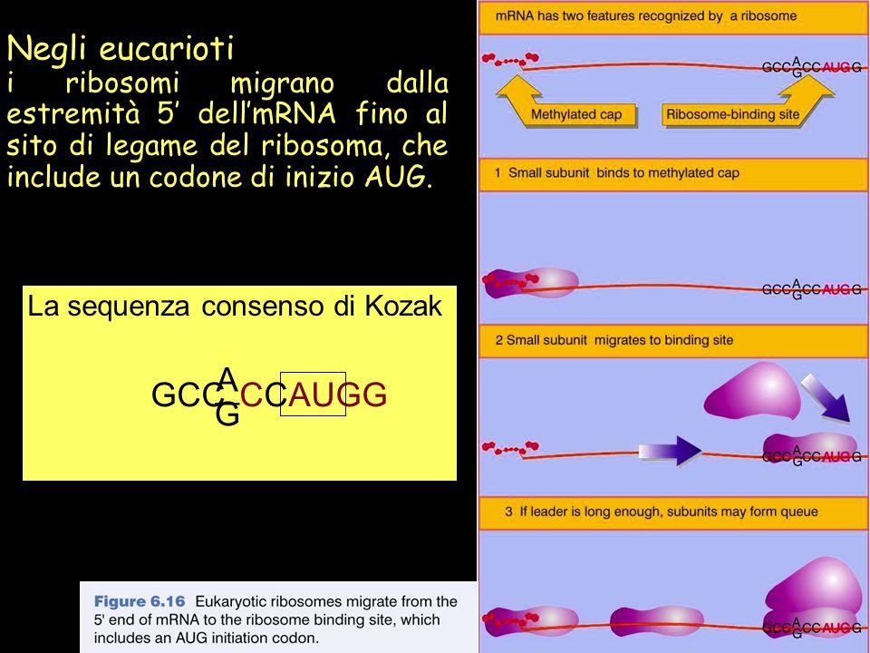 _ Negli eucarioti A GCC CCAUGG G