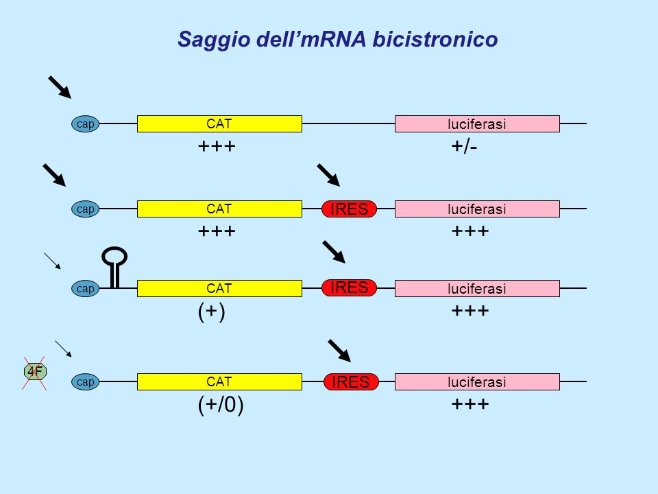 Saggio dell'mRNA bicistronico