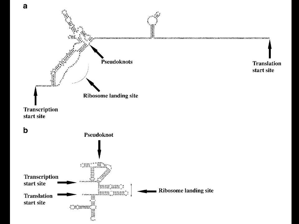 c-Myc IRES, b) L-myc IRES – strutture verificate con reagenti chimici e con Rnasi VI