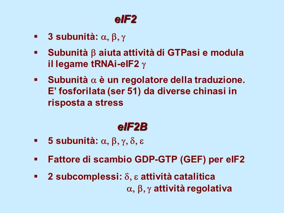 eIF23 subunità: a, b, g. Subunità b aiuta attività di GTPasi e modula il legame tRNAi-eIF2 g.