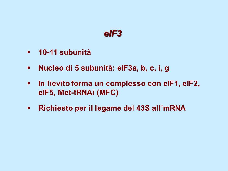 eIF3 10-11 subunità Nucleo di 5 subunità: eIF3a, b, c, i, g