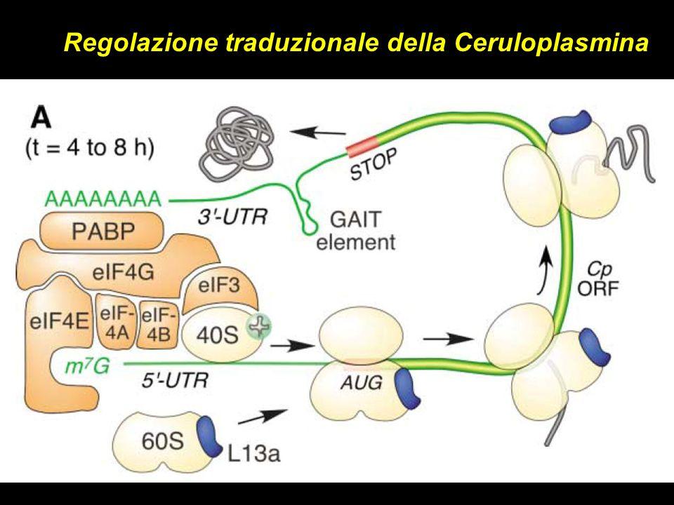 Regolazione traduzionale della Ceruloplasmina