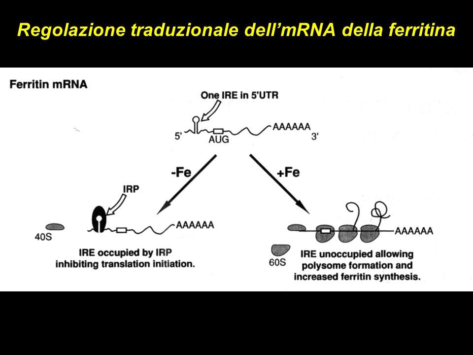 Regolazione traduzionale dell'mRNA della ferritina