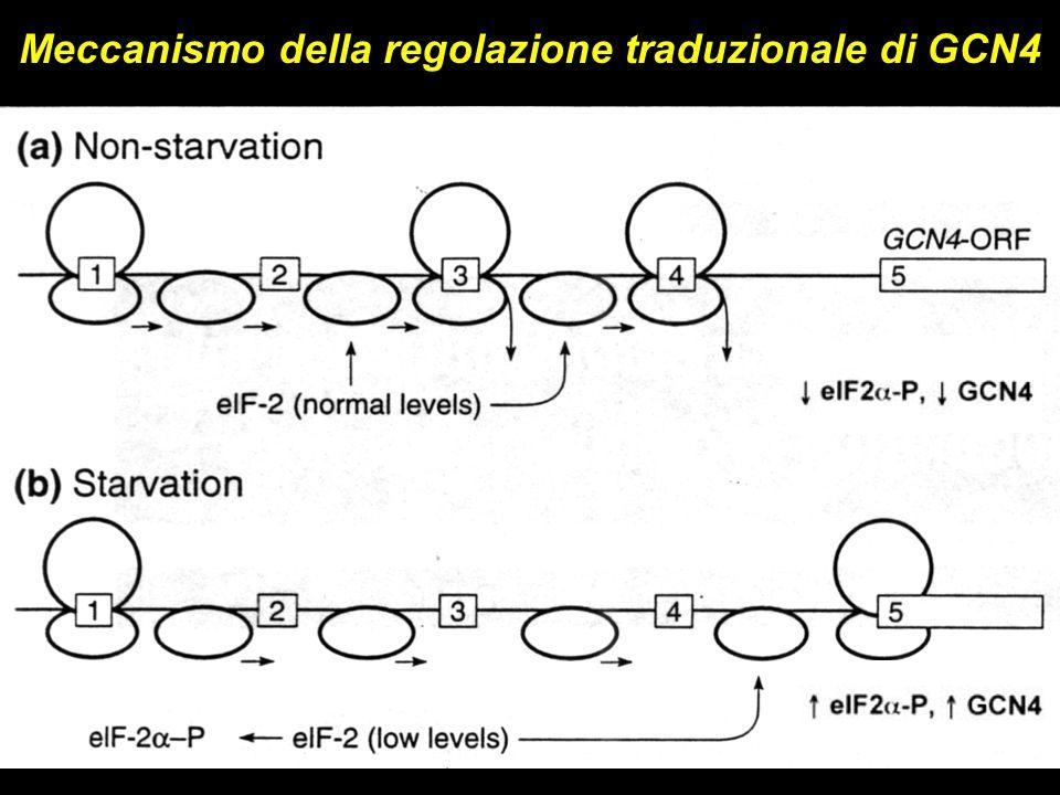 Meccanismo della regolazione traduzionale di GCN4