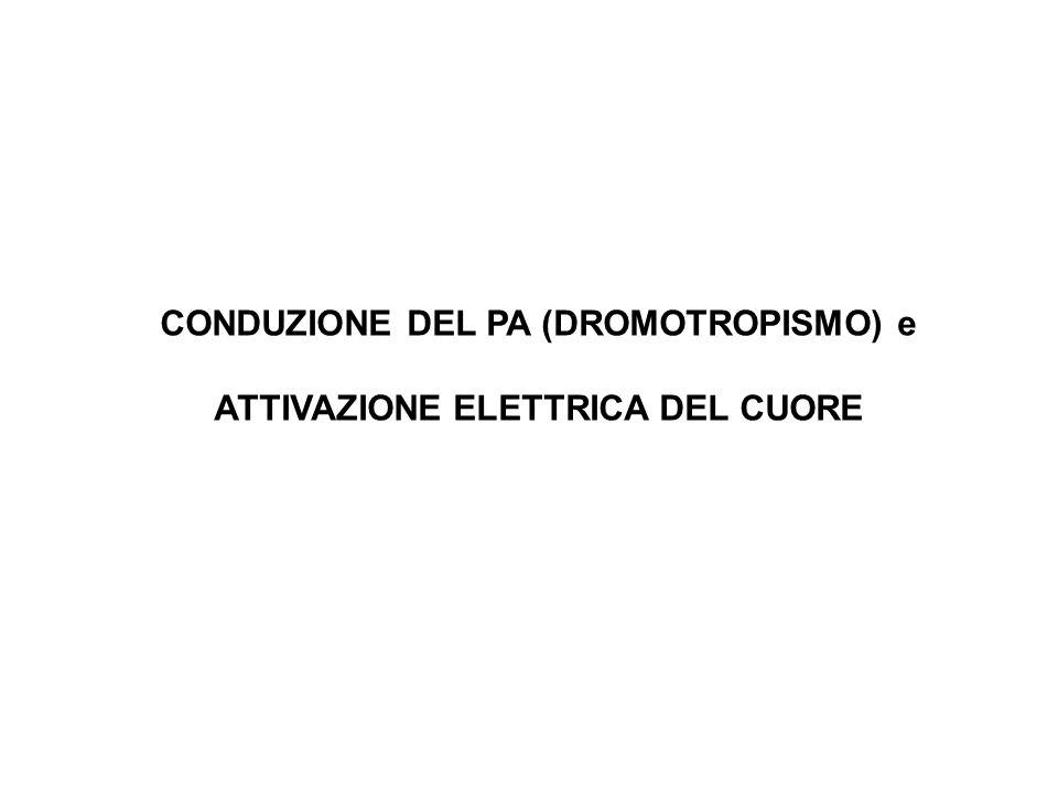 CONDUZIONE DEL PA (DROMOTROPISMO) e ATTIVAZIONE ELETTRICA DEL CUORE