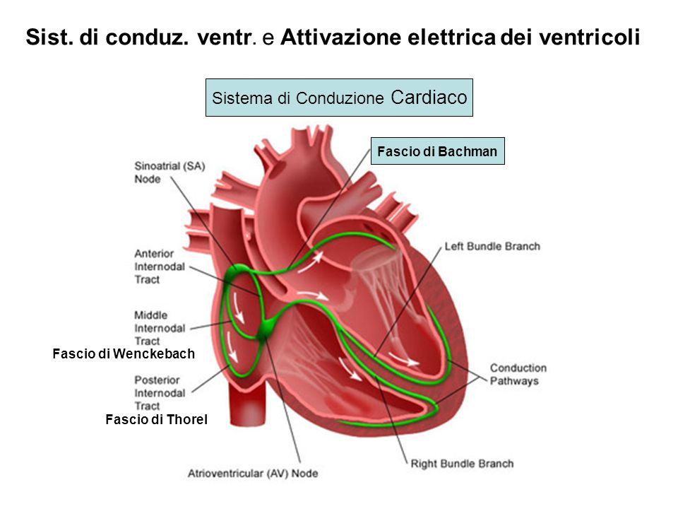 Sistema di Conduzione Cardiaco