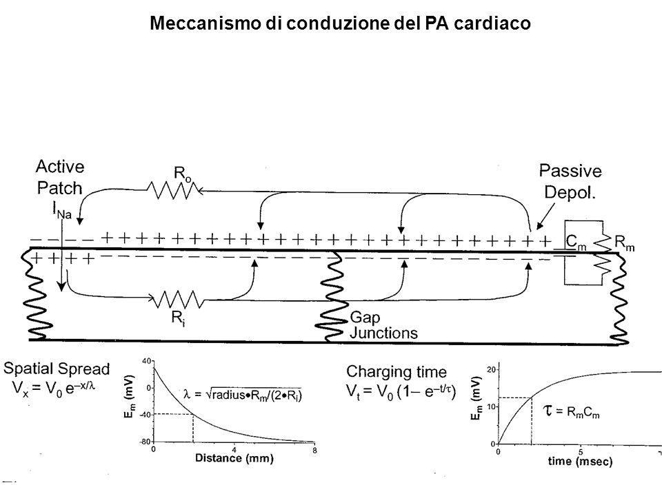 Meccanismo di conduzione del PA cardiaco