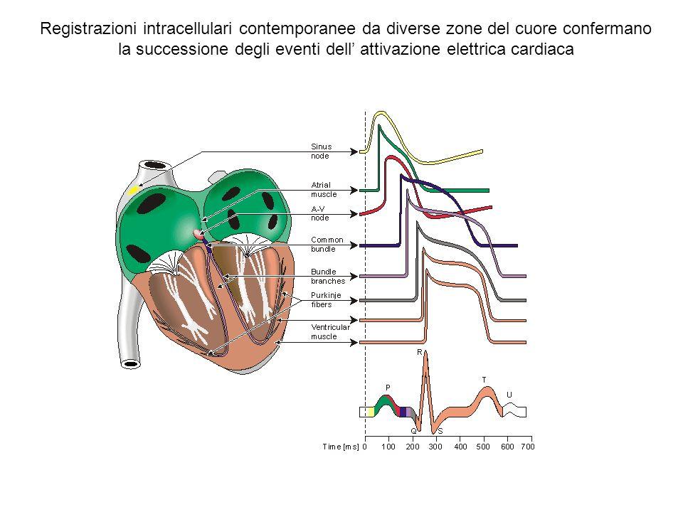 Registrazioni intracellulari contemporanee da diverse zone del cuore confermano la successione degli eventi dell' attivazione elettrica cardiaca