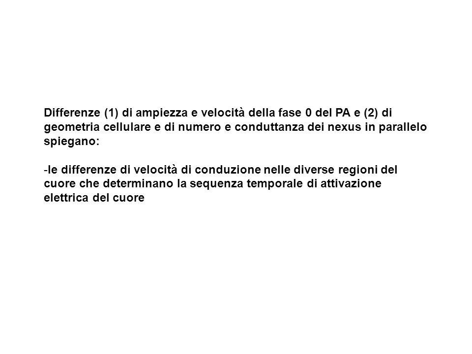 Differenze (1) di ampiezza e velocità della fase 0 del PA e (2) di geometria cellulare e di numero e conduttanza dei nexus in parallelo spiegano:
