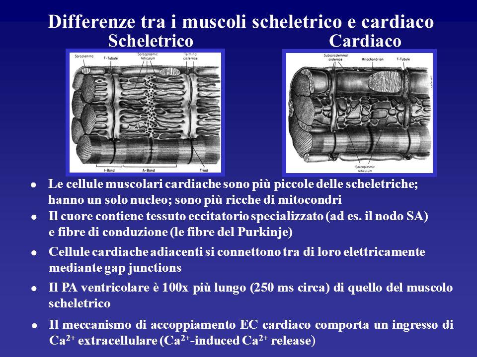 Differenze tra i muscoli scheletrico e cardiaco
