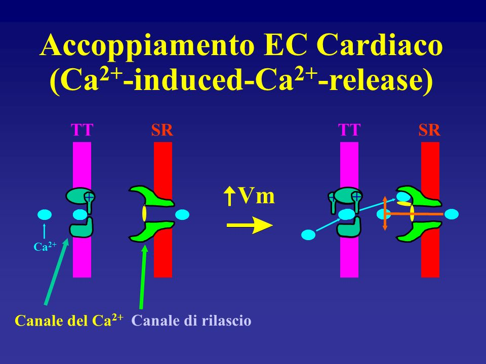 Accoppiamento EC Cardiaco (Ca2+-induced-Ca2+-release)