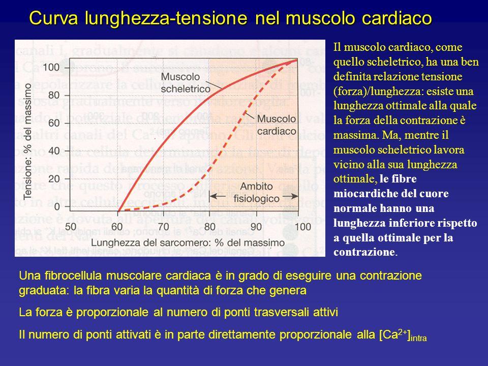 Curva lunghezza-tensione nel muscolo cardiaco