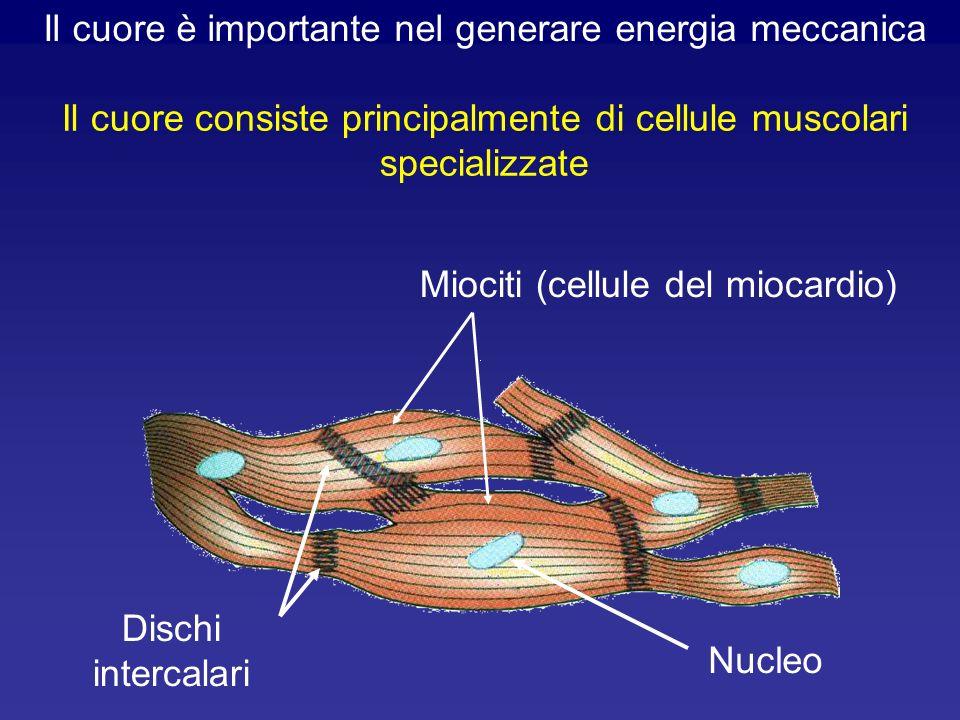 Il cuore è importante nel generare energia meccanica