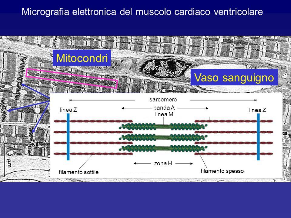 Micrografia elettronica del muscolo cardiaco ventricolare
