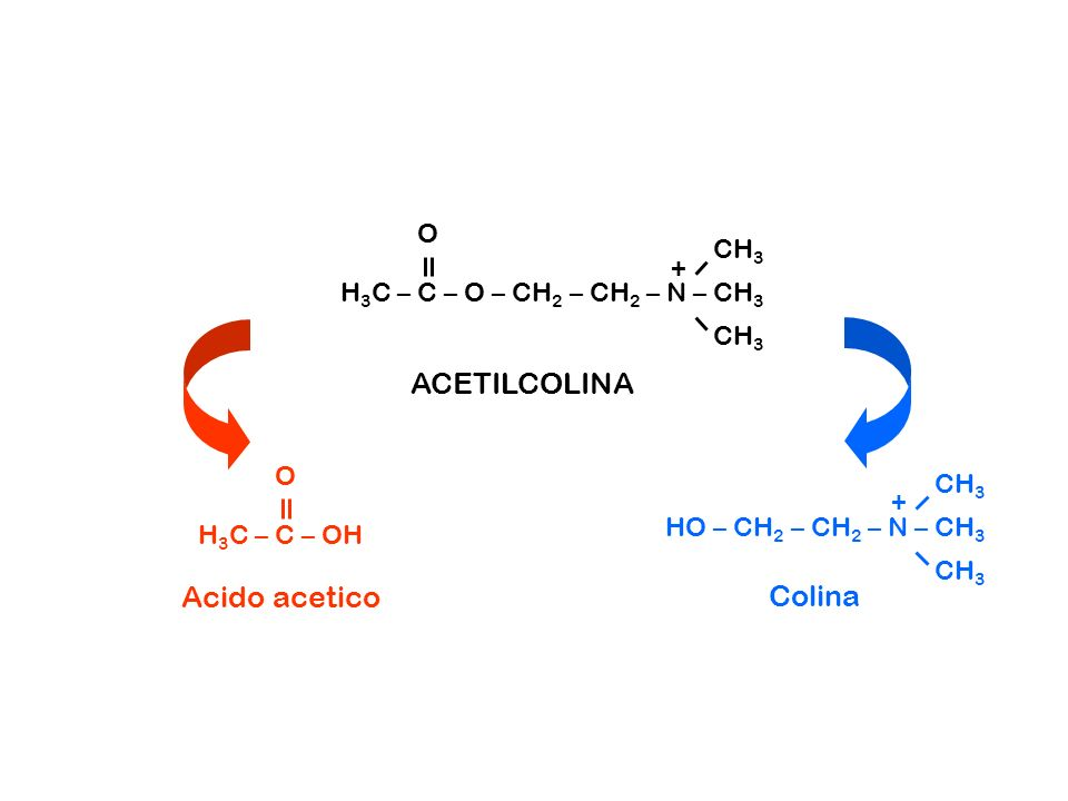 ACETILCOLINA Acido acetico Colina O CH3 +