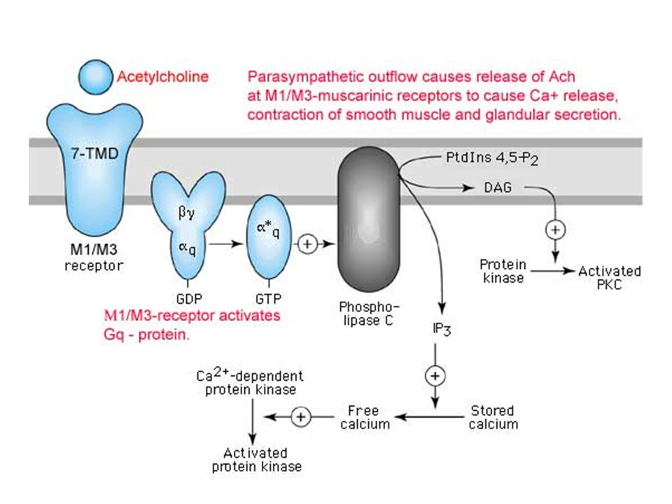 Activation of M1/M3 muscarinic responses
