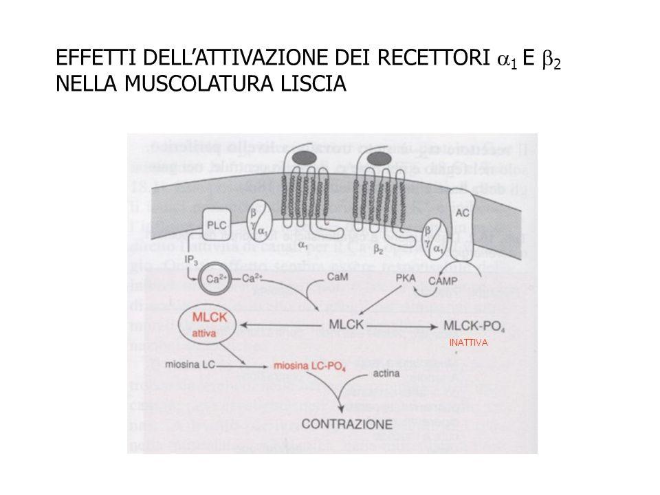EFFETTI DELL'ATTIVAZIONE DEI RECETTORI 1 E 2 NELLA MUSCOLATURA LISCIA