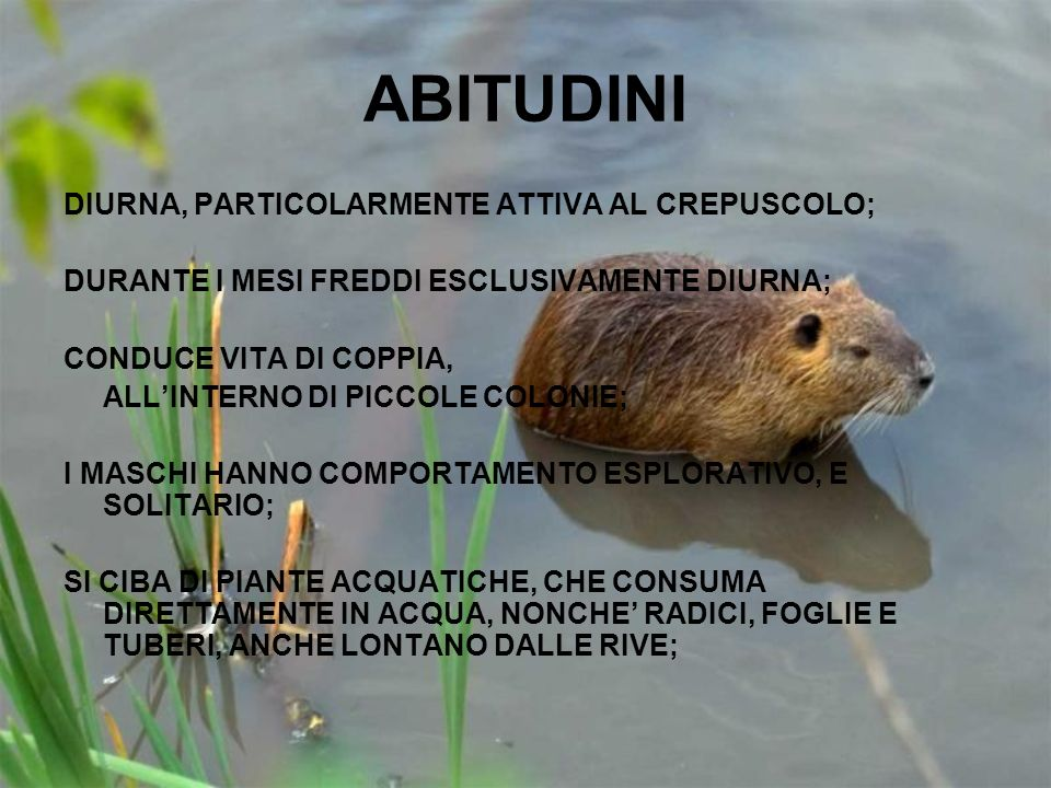 ABITUDINI DIURNA, PARTICOLARMENTE ATTIVA AL CREPUSCOLO;