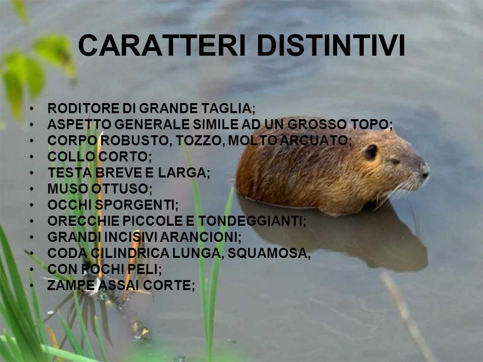 CARATTERI DISTINTIVI RODITORE DI GRANDE TAGLIA;