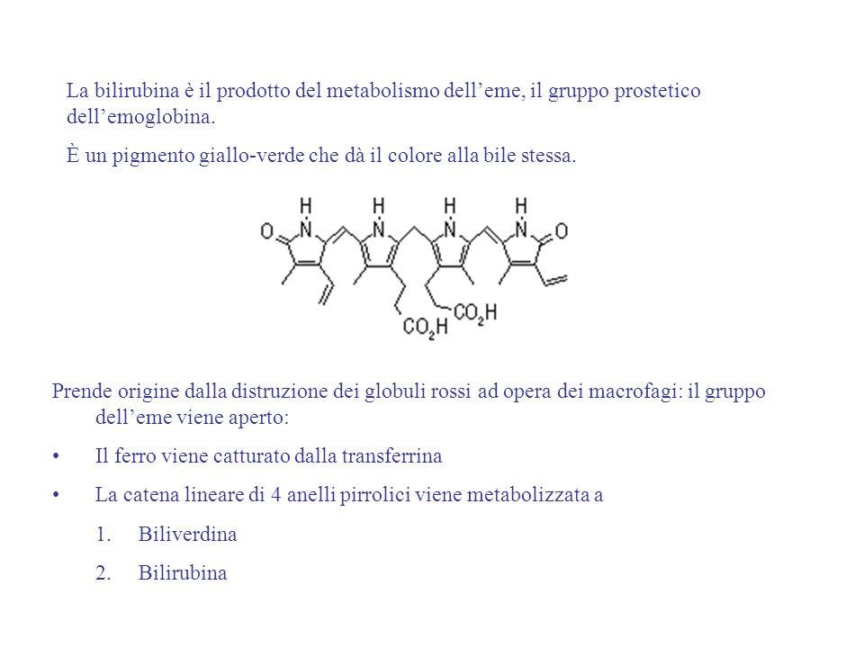 La bilirubina è il prodotto del metabolismo dell'eme, il gruppo prostetico dell'emoglobina.