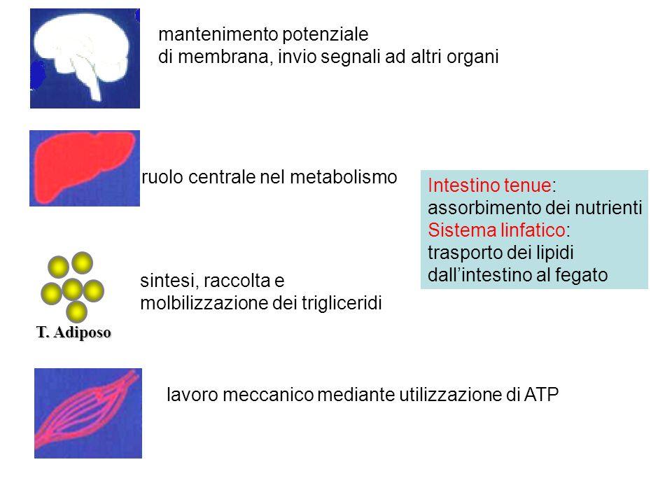 mantenimento potenziale di membrana, invio segnali ad altri organi