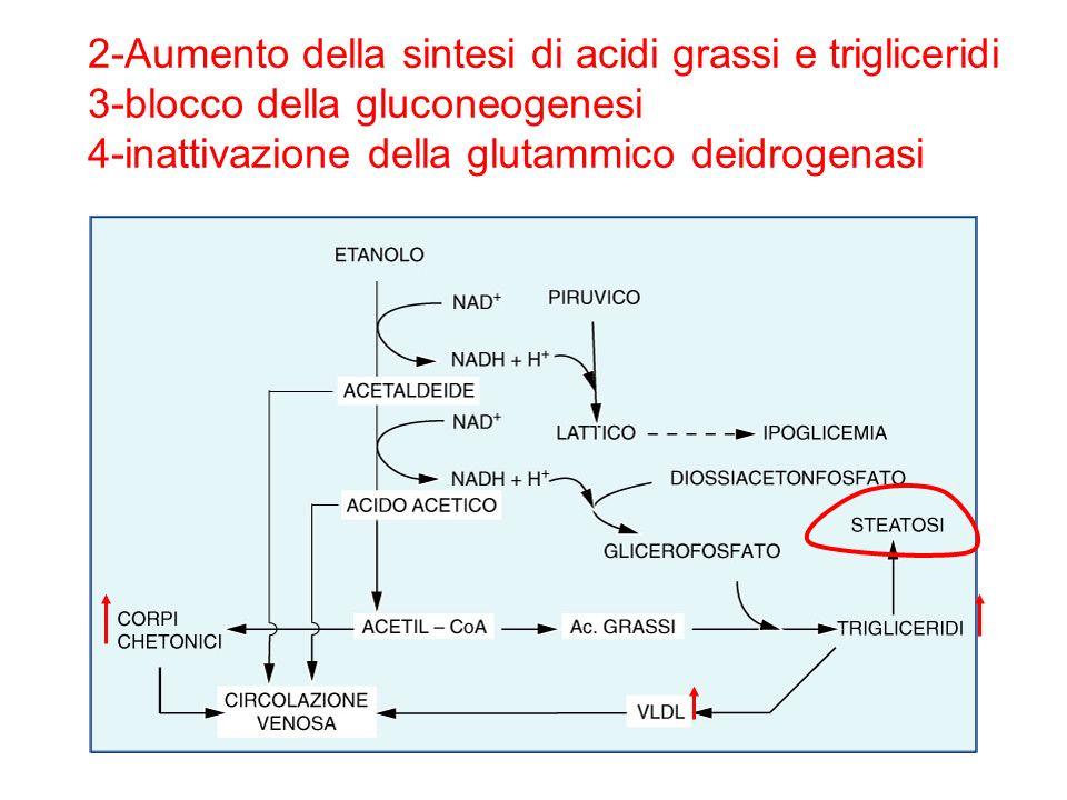 2-Aumento della sintesi di acidi grassi e trigliceridi