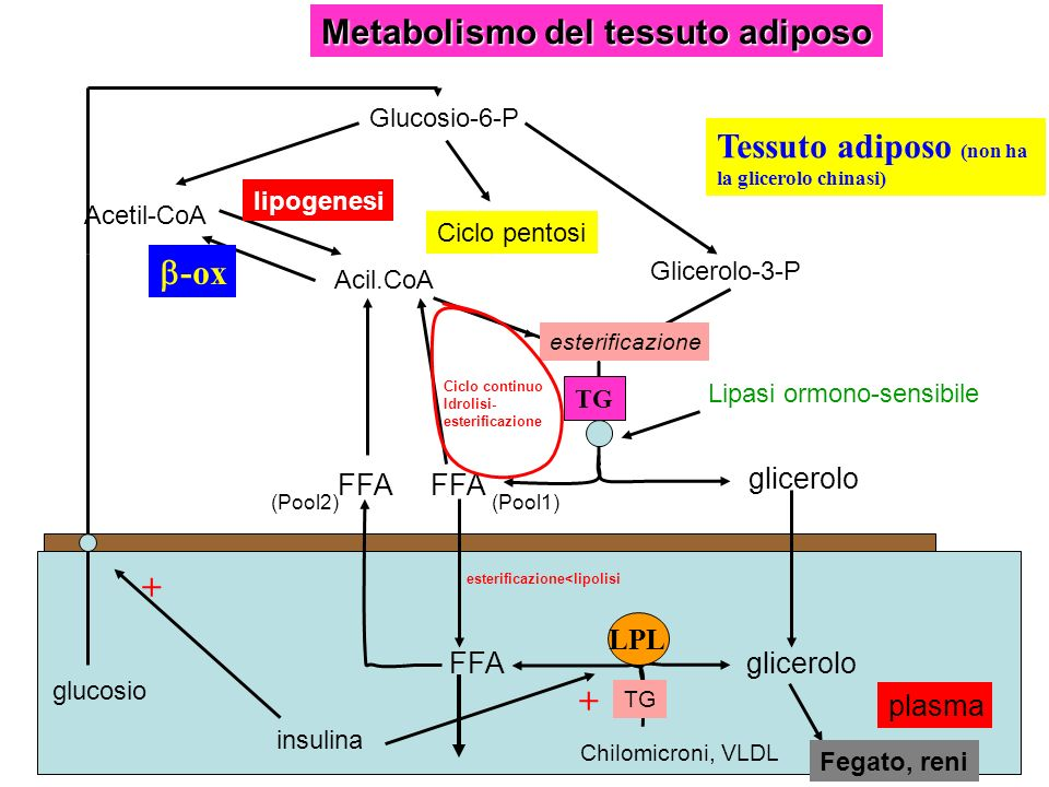 Metabolismo del tessuto adiposo