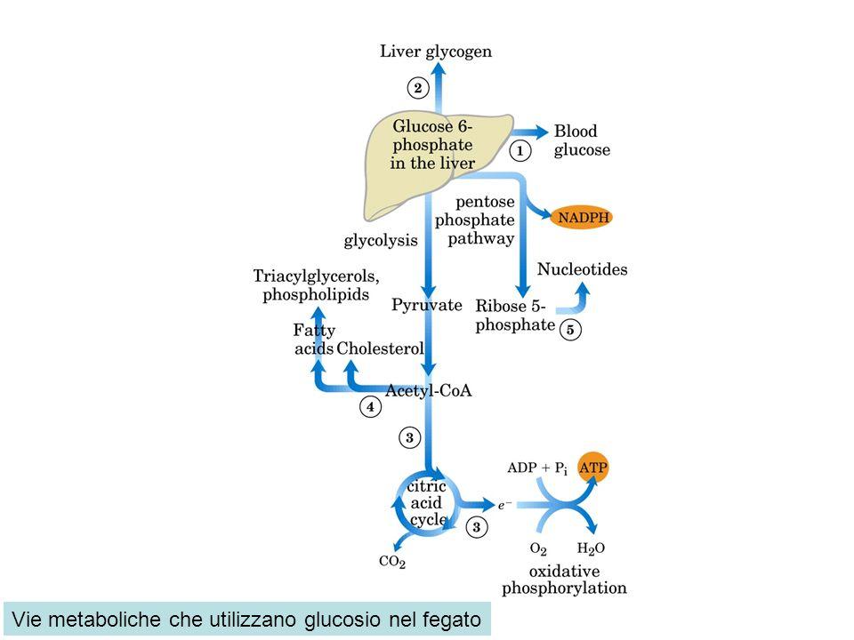 Vie metaboliche che utilizzano glucosio nel fegato