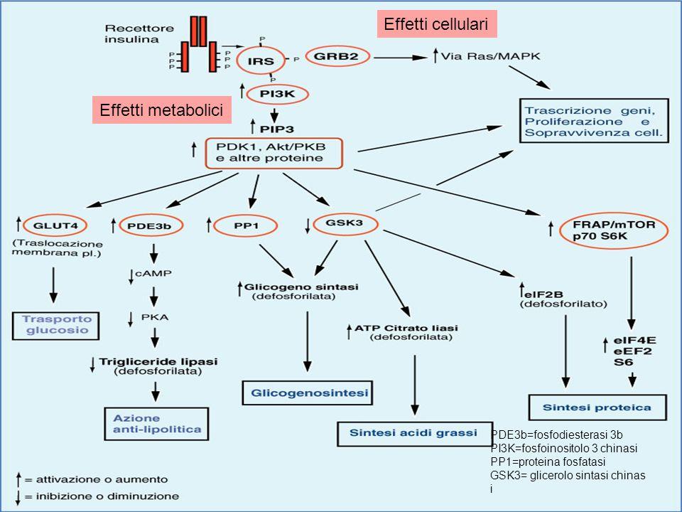 Effetti cellulari Effetti metabolici PDE3b=fosfodiesterasi 3b