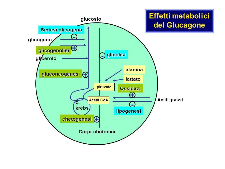 Effetti metabolici del Glucagone - + - + + - +