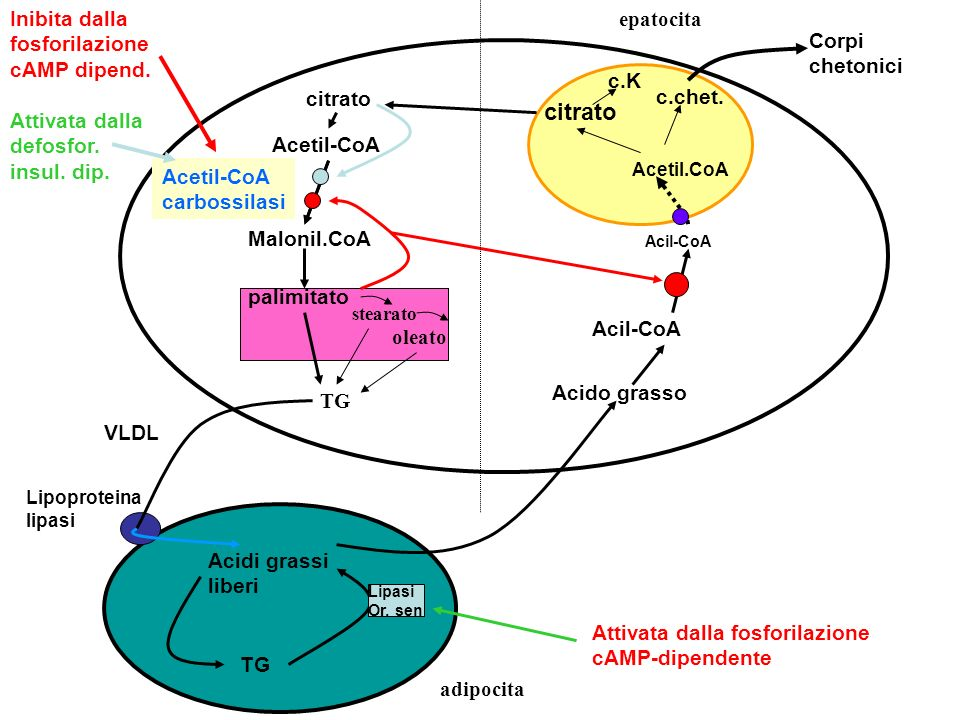 citrato Inibita dalla fosforilazione cAMP dipend. epatocita Corpi