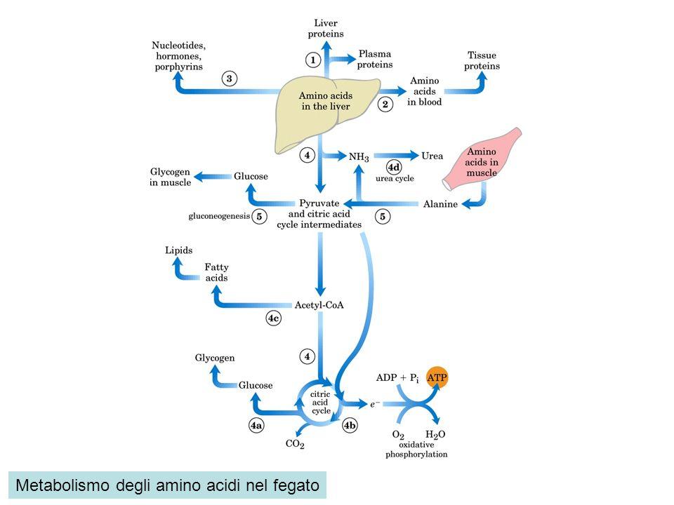 Metabolismo degli amino acidi nel fegato