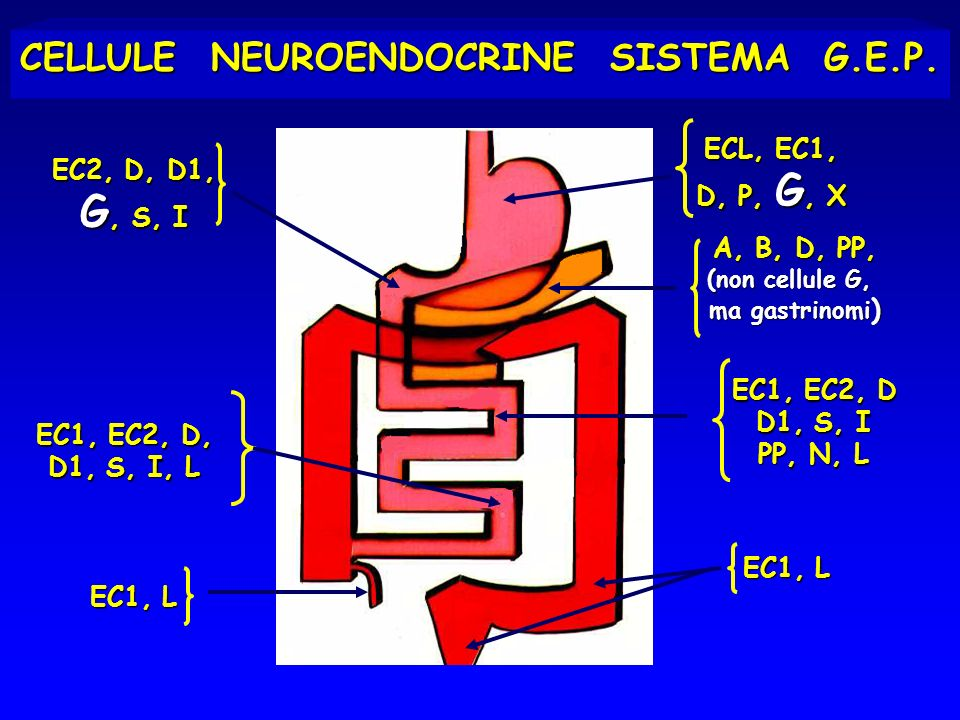 CELLULE NEUROENDOCRINE SISTEMA G.E.P.
