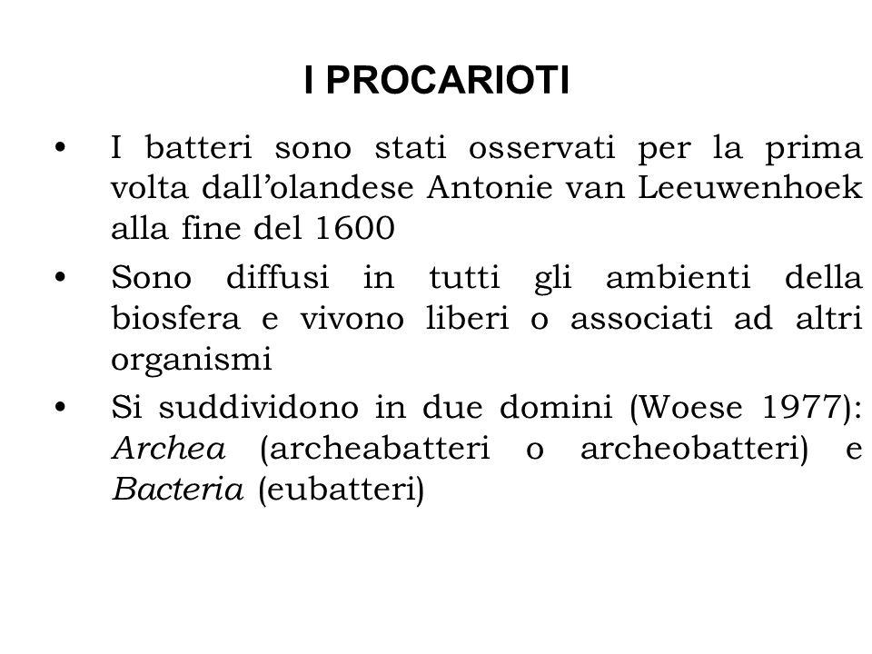 I PROCARIOTI I batteri sono stati osservati per la prima volta dall'olandese Antonie van Leeuwenhoek alla fine del 1600.
