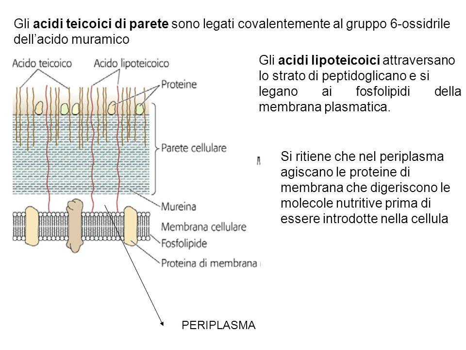 Gli acidi lipoteicoici attraversano lo strato di peptidoglicano e si