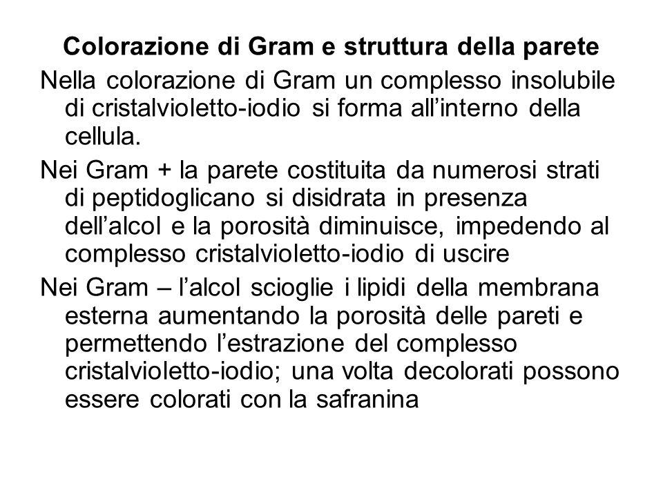 Colorazione di Gram e struttura della parete
