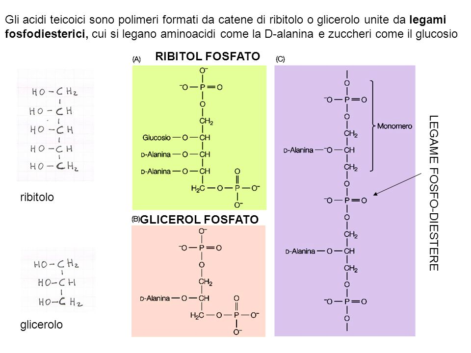 Gli acidi teicoici sono polimeri formati da catene di ribitolo o glicerolo unite da legami fosfodiesterici, cui si legano aminoacidi come la D-alanina e zuccheri come il glucosio