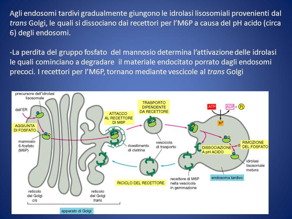 Agli endosomi tardivi gradualmente giungono le idrolasi lisosomiali provenienti dal trans Golgi, le quali si dissociano dai recettori per l'M6P a causa del pH acido (circa 6) degli endosomi.