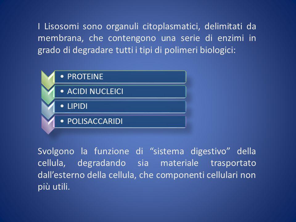I Lisosomi sono organuli citoplasmatici, delimitati da membrana, che contengono una serie di enzimi in grado di degradare tutti i tipi di polimeri biologici: