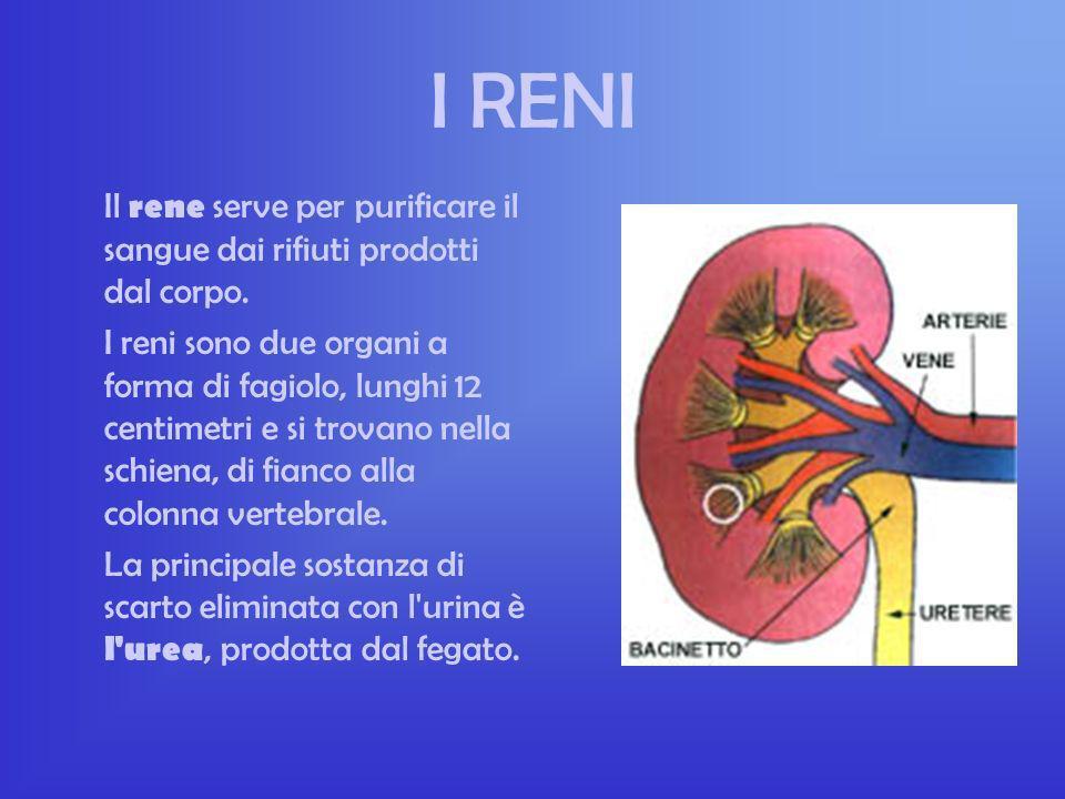 I RENI Il rene serve per purificare il sangue dai rifiuti prodotti dal corpo.