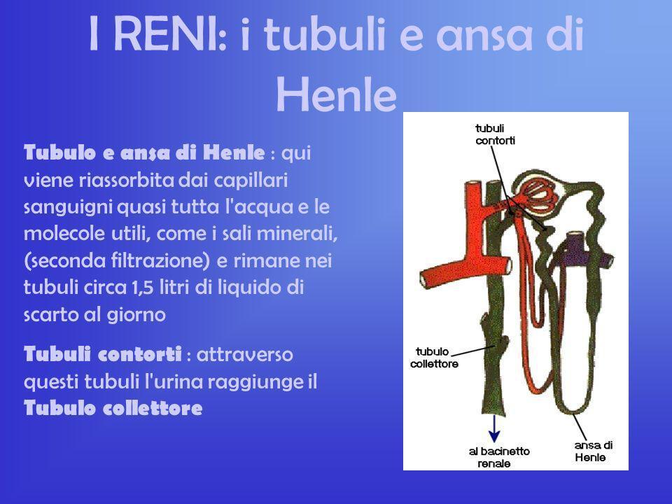 I RENI: i tubuli e ansa di Henle
