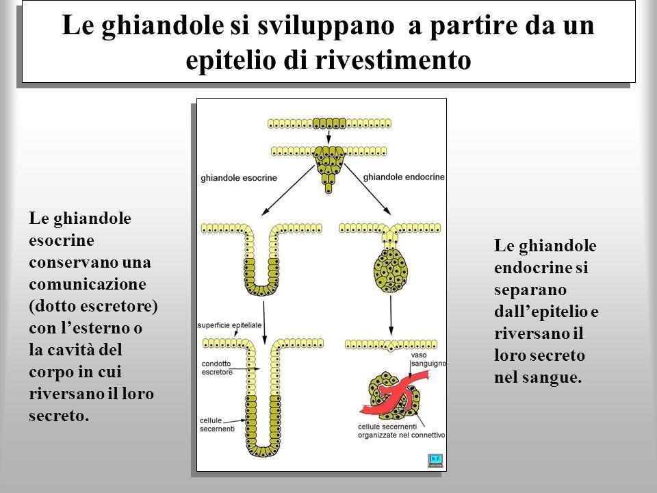 Le ghiandole si sviluppano a partire da un epitelio di rivestimento