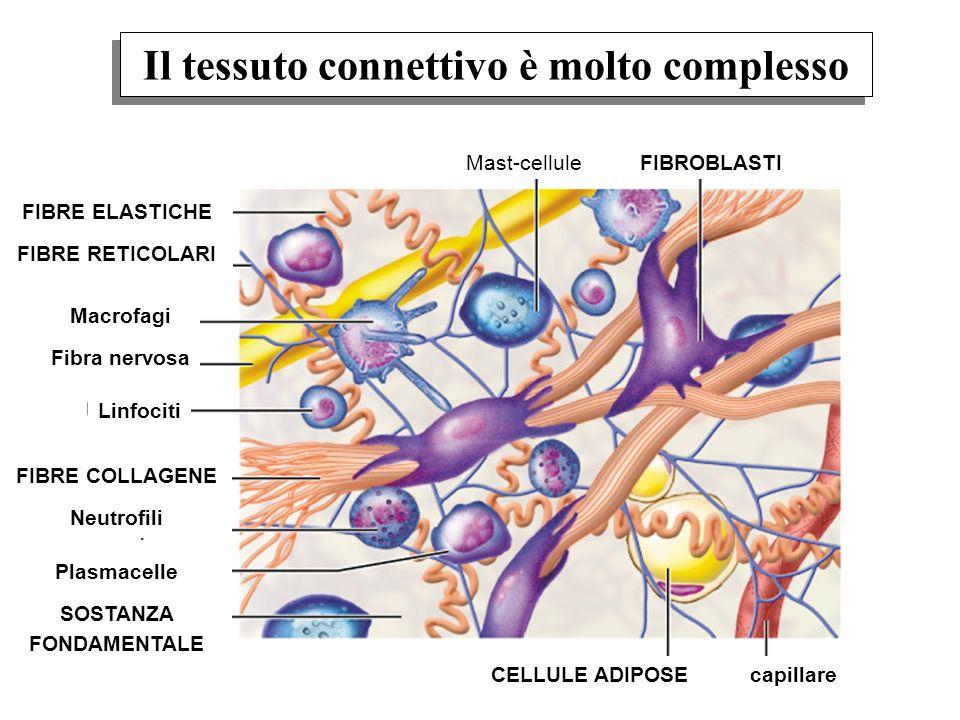 Il tessuto connettivo è molto complesso