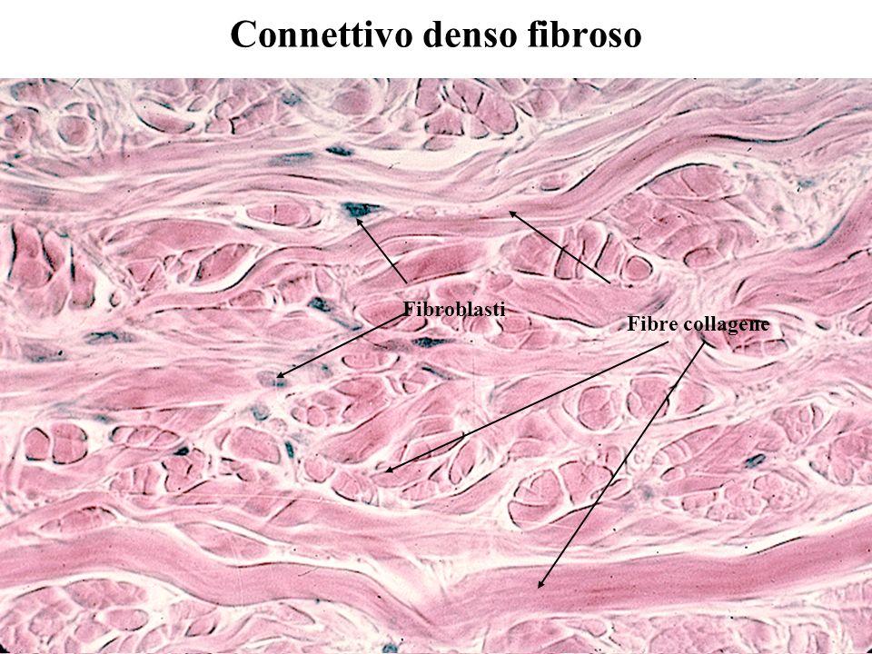 Connettivo denso fibroso