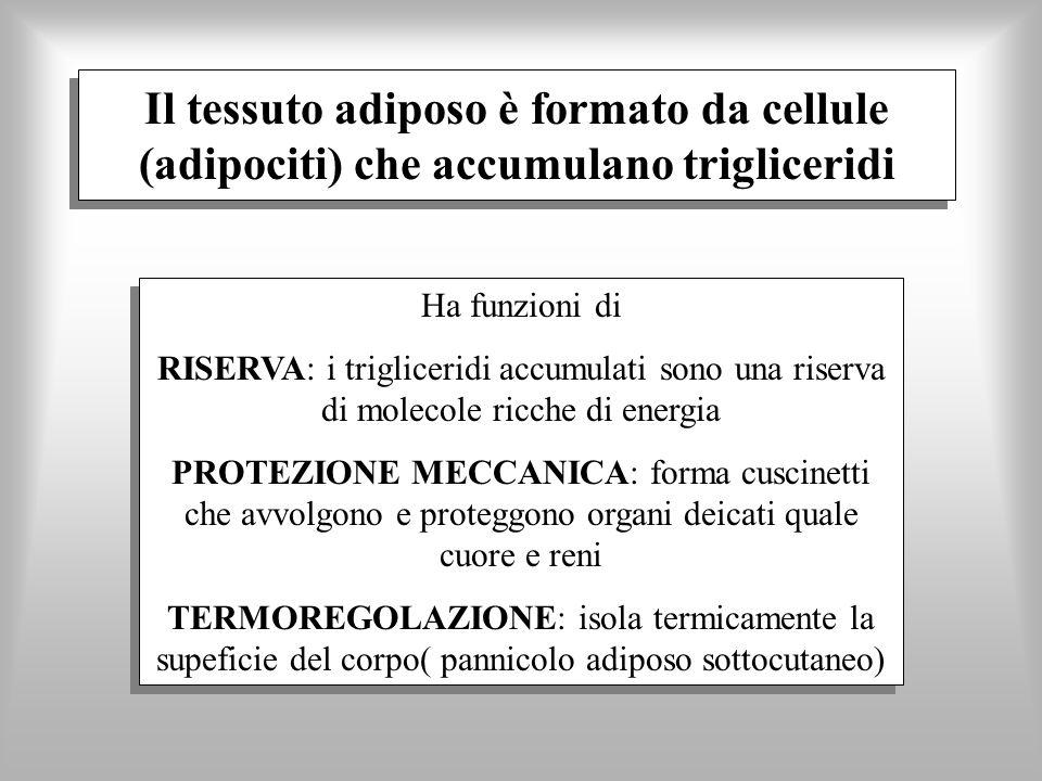 Il tessuto adiposo è formato da cellule (adipociti) che accumulano trigliceridi