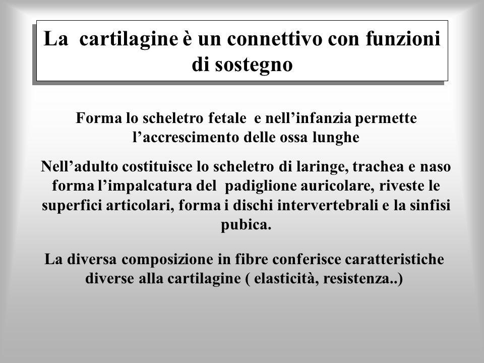 La cartilagine è un connettivo con funzioni di sostegno