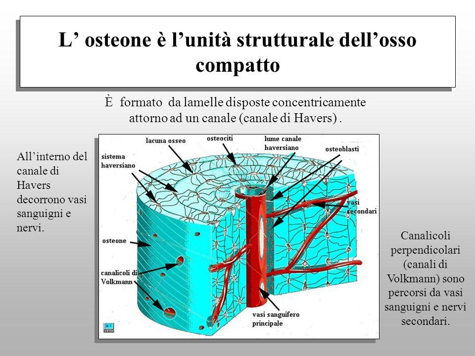 L' osteone è l'unità strutturale dell'osso compatto