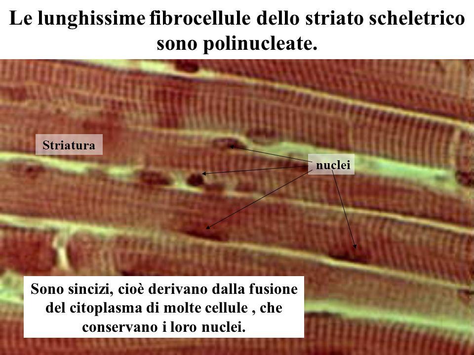 Le lunghissime fibrocellule dello striato scheletrico sono polinucleate.