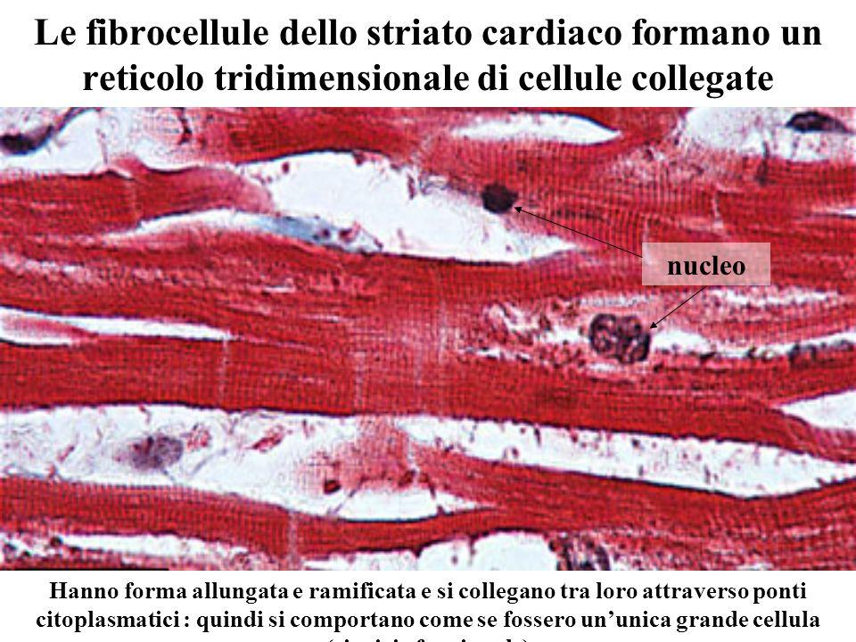 Le fibrocellule dello striato cardiaco formano un reticolo tridimensionale di cellule collegate